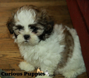 This was one of our sold shihpoo puppies for sale