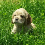 American Cocker Spaniel Puppy For Sale Picture 01