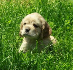 American Cocker Spaniel Puppy For Sale Picture 01