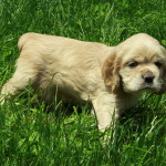 American Cocker Spaniel Puppy For Sale Picture 02