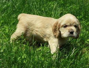 American Cocker Spaniel Puppy For Sale Picture 02