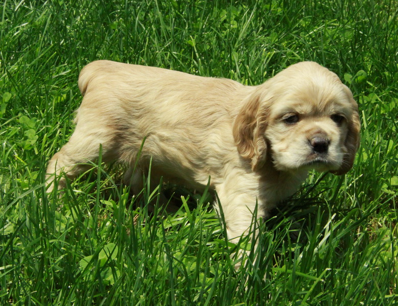 American cocker spaniel puppies - photo#6