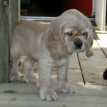 American Cocker Spaniel Puppy For Sale Picture 03