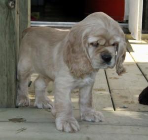 American Cocker Spaniel Puppy For Sale Picture 03