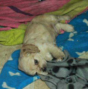 American Cocker Spaniel Puppy For Sale Picture 06