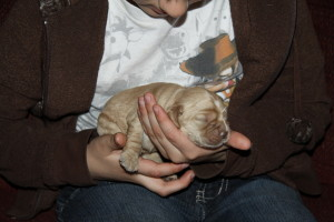 American Cocker Spaniel Puppy For Sale Picture 08
