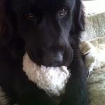 Balou-Newfoundland x Golden Retriever Puppy for sale 2