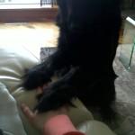 Balou-Newfoundland x Golden Retriever Puppy for sale 3