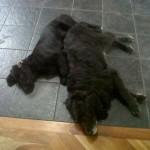 Balou-Newfoundland x Golden Retriever Puppy for sale 4