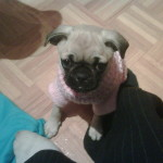 Beeboo-Pug x Jack Russell mix breed puppy for sale 01