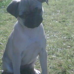 Beeboo-Pug x Jack Russell mix breed puppy for sale 04