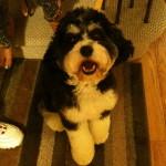 Benny – Cockapoo Puppy we had for sale