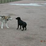 Black Labrador Retriever Puppy Testimonial