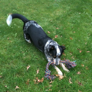 Blue Heeler Walkerhound Puppy For Sale 01