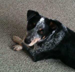 Blue Heeler Walkerhound Puppy For Sale 02