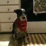 Mya – Walkerhound / Blue Heeler Mix Breed Puppy Testimonial