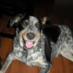 Puppies For Sale In Ontario: Blue Heeler Walkerhound - One of our sold litters 02