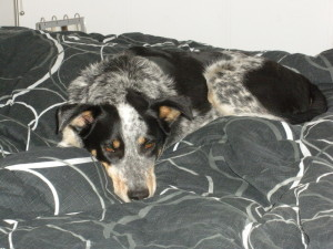 Puppies For Sale In Ontario: Blue Heeler Walkerhound - One of our sold litters 03