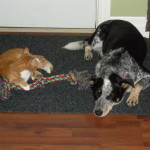 Puppies For Sale In Ontario: Blue Heeler Walkerhound - One of our sold litters 04