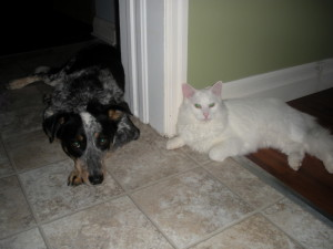 Puppies For Sale In Ontario: Blue Heeler Walkerhound - One of our sold litters 05