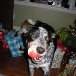Puppies For Sale In Ontario: Blue Heeler Walkerhound - One of our sold litters 06