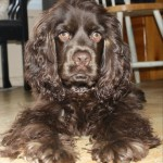 One of our Cocker Spaniel puppies for sale: Boe