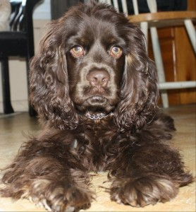 One of our American Cocker Spaniel puppies for sale: Boe