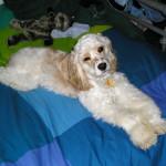 Cannon – Cocker Spaniel Puppy Testimonial