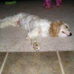 Cannon Cocker Spaniel Puppy Testimonial Update