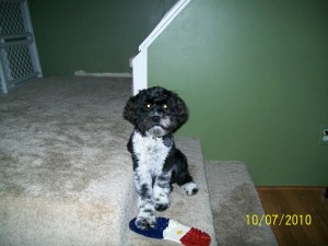 Chance-Cockapoo Puppy For Sale new pic 045