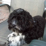 Cockapoo Puppy Chance in the USA