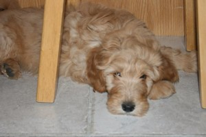 Chara-Goldendoodle Puppy For Sale In Quebec 01