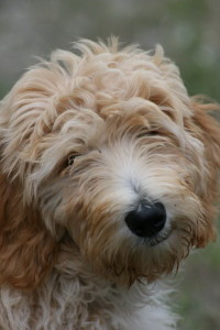 Chara-Goldendoodle Puppy For Sale In Quebec 02