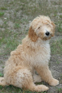 Chara-Goldendoodle Puppy For Sale In Quebec 03