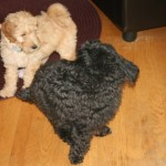 Chara-Goldendoodle Puppy For Sale In Quebec 04