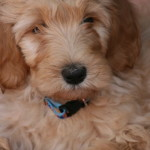 Chara a Goldendoodle Puppy Update