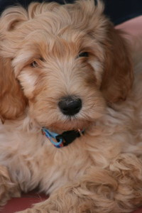 Chara-Goldendoodle Puppy For Sale In Quebec 05
