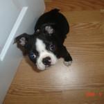 Cheeko Boston Terrier Puppy For Sale 01