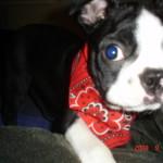 Cheeko Boston Terrier Puppy For Sale 02