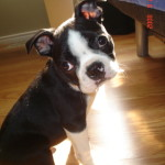 Cheeko a Story about A Boston Terrier Puppy