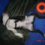 Cheeko Boston Terrier Puppy For Sale 05