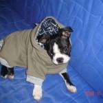 Cheeko Boston Terrier Puppy For Sale 06