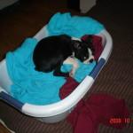Cheeko Boston Terrier Puppy For Sale 07