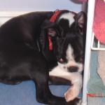 Cheeko Boston Terrier Puppy For Sale 08