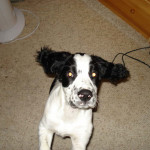 Chester-Springer Spaniel Puppy for sale 02