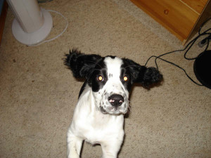 Chester-Springer Spaniel Puppy for sale 02