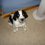 Chester-Springer Spaniel Puppy for sale 03