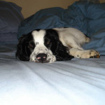 Chester-Springer Spaniel Puppy for sale 04