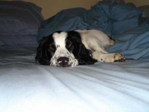 Chester-Springer Spaniel Puppy for sale 04