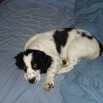 Chester-Springer Spaniel Puppy for sale 05